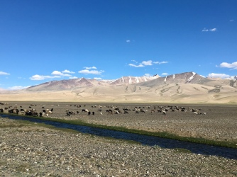 Grazende schapen/geiten net voorbij Alichur.