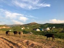 Yurts en koeien.