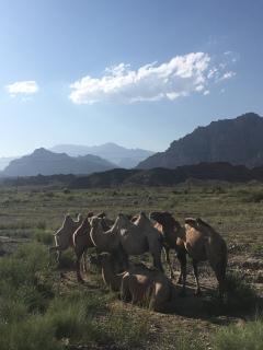 Kamelen!