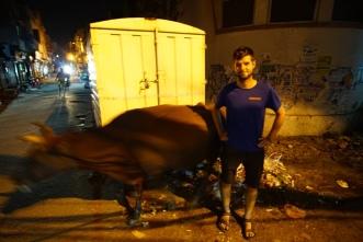 Een koe in Amritsar met beschonken Nacho.