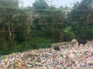 Afval en koeien in India.