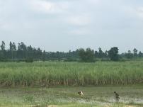 Werken in de rijstvelden.