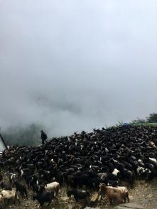 Chinese geiten op weg naar Pokhara voor het festival.