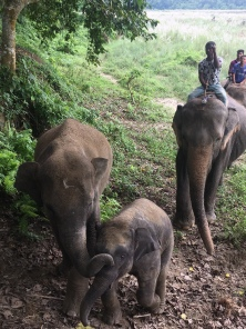 Gedomesticeerde olifanten.