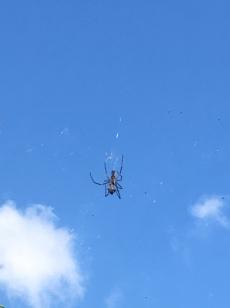 Grote spinnen!