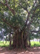 Vele mooie bomen in Myanmar.