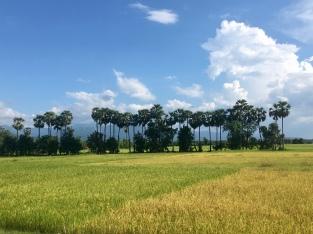 Palmbomen en rijstvelden.
