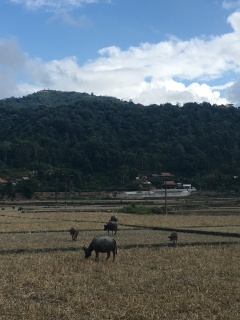 Koeien op geoogste rijstvelden.