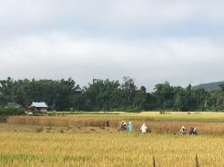 Werken in de Laotiaanse velden.
