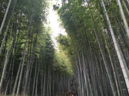 Kyoto, bamboebos.